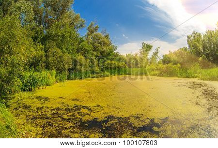 swamp sucked duckweed green with blue sky in the forest landscap