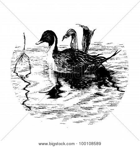 Black-white Duck In Pool