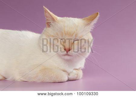 Closeup  Sleeping Ginger Cat On Purple
