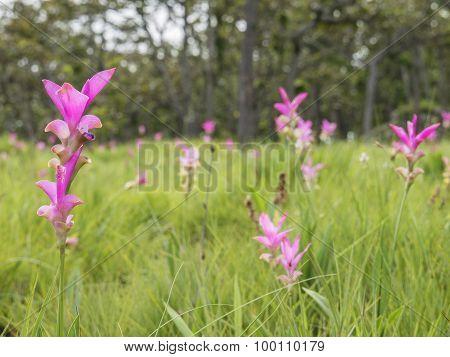 Siam Tulip Flower 3