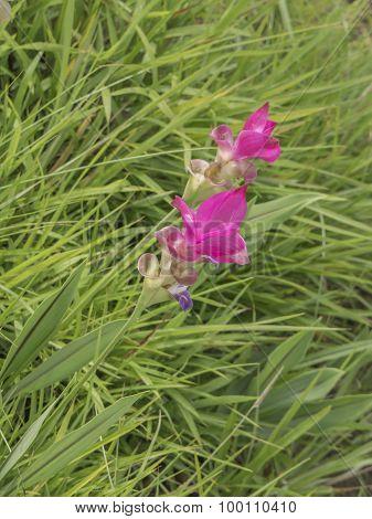 Siam Tulip Flower 6