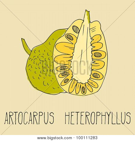 Hand drawing illustration of jackfruit.