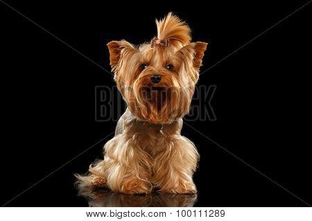 Closeup Yorkshire Terrier Dog Standing On Black Mirror