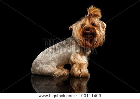 Closeup Yorkshire Terrier Dog Showing Tongue On Black Mirror
