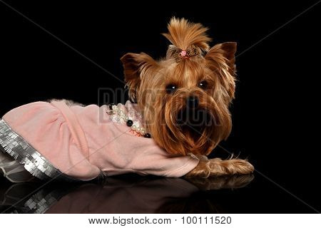 Yorkshire Terrier Dog In Clothes Lying On Black Mirror