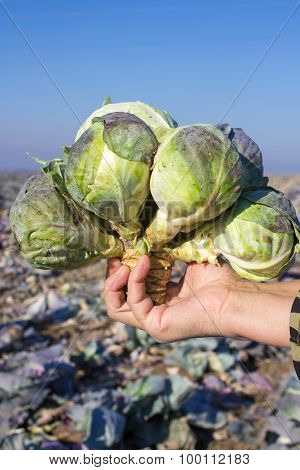 Many Heads Of Cabbage
