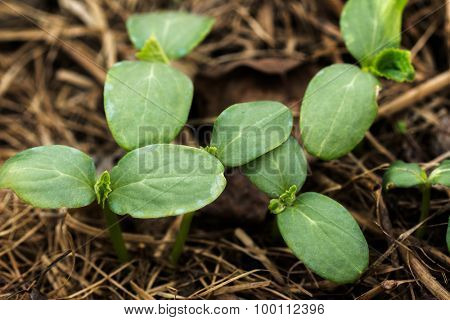 The young shoots of cucumber in the stage of cotyledon leaves