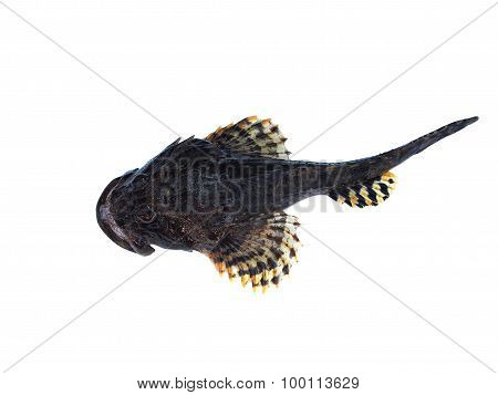 Sea Fish Lophius Piscatorius