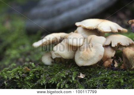 Prickly Cup Mushroom
