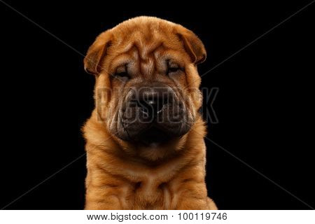 Closeup Funny Sharpei Puppy Isolated On Black