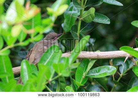 A Young Streak-eared Bulbul Hold On Branch