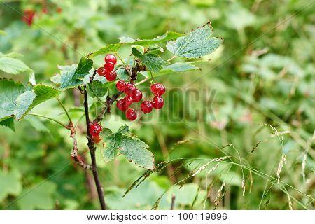 Wild Redcurrant Berries