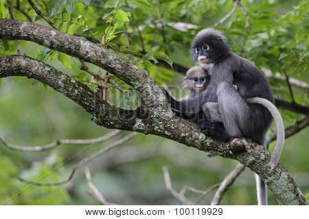 Dusky Leaf Monkey And Young Dusky Leaf Monkey