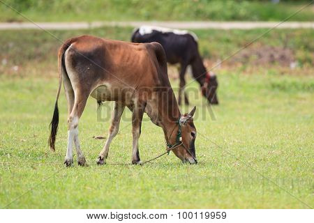 Two Cows On Green Grass Field