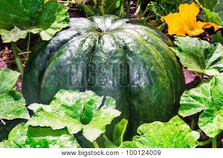 Large Pumpkin Among Green Leaves In The Garden.