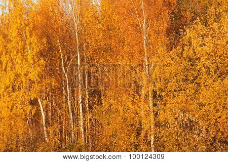 Trees in autumn colors background