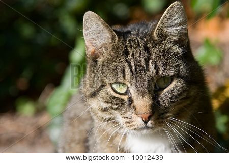Portrait Of A Domecstic Cat