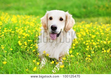 Portrait Of Beautiful Golden Retriever Dog Lying On The Green Grass Near Yellow Flowers In Sunny Sum