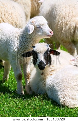 The Sheep In The Pasture
