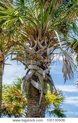 Palmetto Palm Trees In Sub Tropical Climate Of Usa
