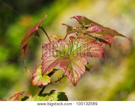 Maple Leaf Fern