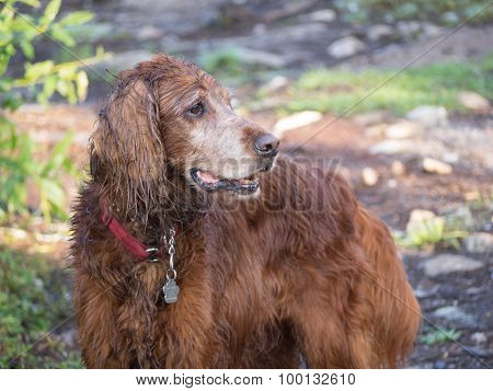 Weathered Irish Setter