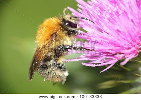 macro honey bee on wildflowers
