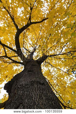 Up a Yellow Tree