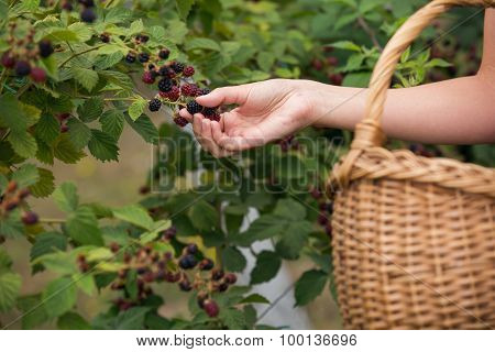 Woman picking blackberries on a farm