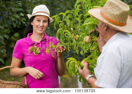 The younger woman helping an older man in the orchard, to pick peach