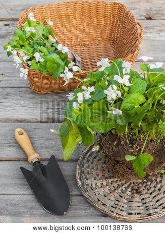 White Violet In A Basket