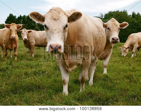 Staring Cows