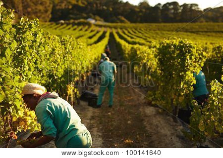 Grape Pickers Working In Vineyard