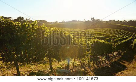 Rows Of Vines Bearing Fruit In Vineyard