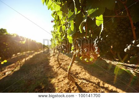 Black Grapes On Vines