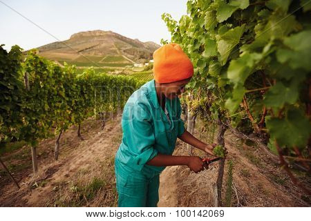 Grape Picker Working In Vineyard