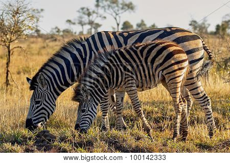 Zebra Mother And Cub