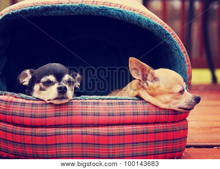 two chihuahuas in a pet bed taking a nap outside in the sunshine on a deck or patio during summer time toned with a retro vintage instagram filter app or action effect