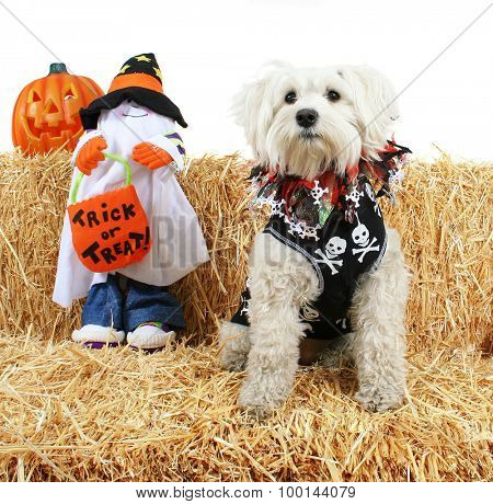 a cute terrier with a bandanna on next to a ghost holding a trick or treat bag on a bale of hay or straw halloween theme on an isolated white background