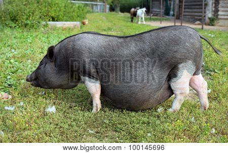 Black and white pregnant pig on free range farm. Pregnant Pot-bellied pig, animal living  farm