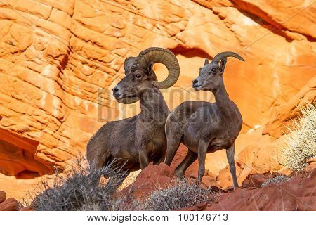 Desert Big Horn Sheep On Red Rock