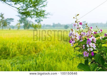 Lagerstroemia Background Cornfield
