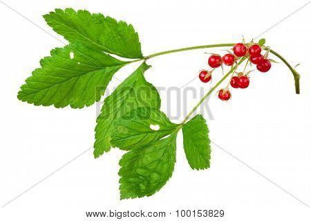 Stone Bramble (Rubus saxatilis) berry