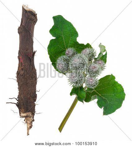 Medicinal plant: Burdock