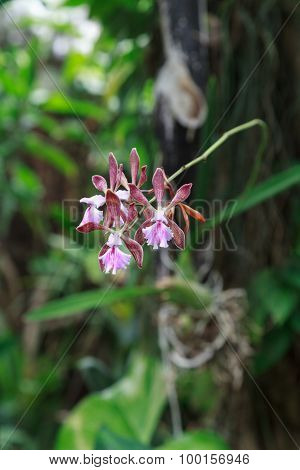 Pink  Epidendrum orchid flower