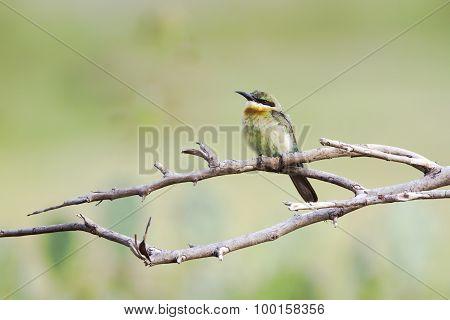 Chestnut-headed Bee-eater In Pottuvil, Sri Lanka