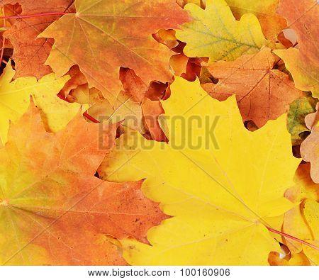 Autumn Maple Leaves Close Up