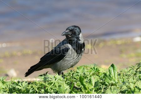 Crow On The Green Grass