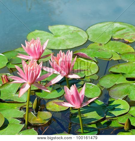 Flowers Of Water Lilies
