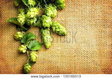 Beautiful fresh green hop over vintage background. Hop cones with leaves close-up lying on burlap. Retro style. Ingredients for beer. Texture burlap backdrop. Copy space for your text